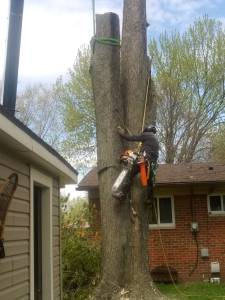 Tree removal in Milford, Michigan.  Quinlan Tree Service serving Milford, MI since 1969.